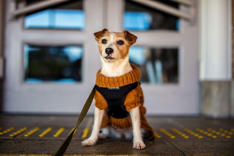The year of the dog EyeEmBestPics EyeEm Best Shots Depth Of Field Dof Bokeh Photography Bokeh Kinoko Jack Russell Terrier Jack Russell New Years Day Dog Portrait Portrait One Animal Pets Domestic Animals Dog Animal Themes Focus On Foreground Day
