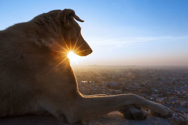 A dog relaxing and watching sunrise from meharangara fort, jodhpur, rajasthan. Jodhpur Relaxing Sun Star Animal Themes Cityscape Close-up Day Dog Domestic Animals Feline Mammal Nature No People One Animal Outdoors Pets Sitting Sky Statue Sun Sunlight Sunrise Watching Pet Portraits A New Beginning Capture Tomorrow Capture Tomorrow