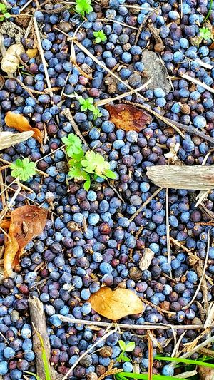 Berries Blue Berries Little Berries Leaf Growth Nature Outdoors Day No People Tree Beauty In Nature Close-up Autumn Fragility Freshness Hedgerow Plant Wild Berries Wild Berry Pine Straw Wood Pieces Backgrounds Round Shape Purple Berries Dried Leaves Leaves