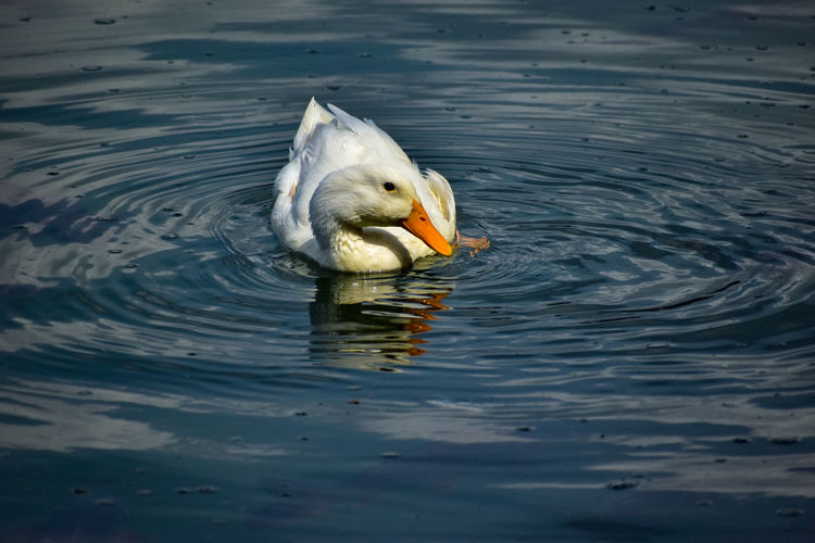 Beautiful white duck during cleaning in a lake.