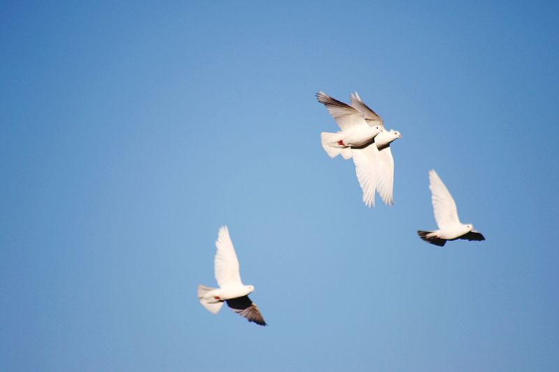 Low angle view of doves flying in clear blue sky