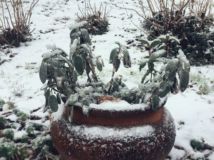 frozen gardens Winter Snow Cold Temperature Weather Nature No People Outdoors Day Close-up Statue Tree Sculpture Vases Sage Plants Herbs
