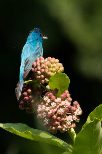 Indigo Bunting Beauty In Nature Blue Bud Close-up Day Flower Focus On Foreground Green Green Color Growing Growth Indigo Bunting Leaf Nature New Life No People Outdoors Petal Plant Selective Focus Stem