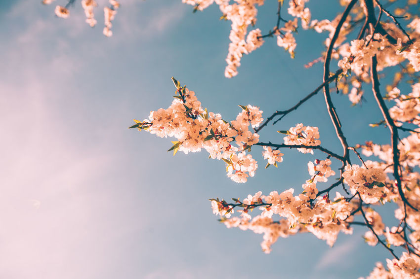 Spring time, Blossoming tree branches against the blue sky Blossoming Tree Sunlight Beauty In Nature Blue Blue Sky Branch Branches Of Trees Cherry Blossom Cherry Tree Close-up Natural Condition Nature No People Orange Color Outdoors Plant Sky Spring Springtime Tree