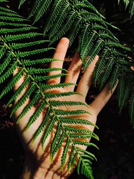 Fern Leafs Close-up Fern Fern Leaf Fern Tree Green Color Human Body Part Human Hand One Person