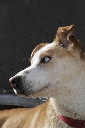 Husky dog close-up Blue Eyes Dogs Animal Themes Blue Close-up Day Dog Dog Love Domestic Animals Eye Husky Husky Love Mammal No People One Animal Pets