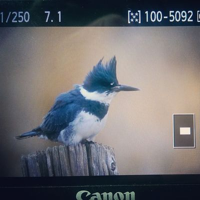 Behindthescenes A Beltedkingfisher perched on a log! What a wonderful find today! I had seen it previously but could never get close enough to photograph it. Taken with the Canon 7D and Tamron 150-600MM lens Bird Birding Kingfisher Utahgram Utah Nature Wonderfullife