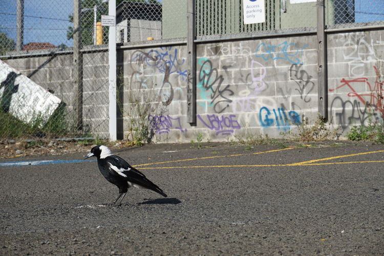 Side view of a bird on road