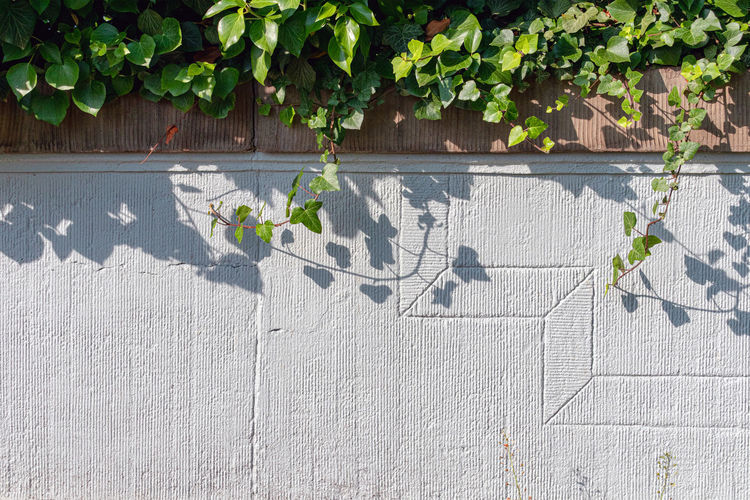 Growth Leaf Plant Part Plant Nature Wall - Building Feature Day Green Color No People Sunlight Outdoors Shadow Built Structure Ivy Architecture Creeper Plant Wall Vulnerability  Beauty In Nature Fragility Concrete Efeu Am Mauer Schatten Licht