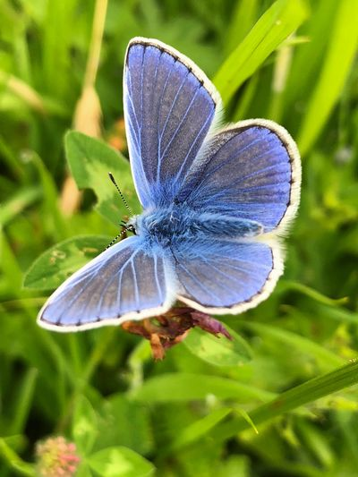 Beautiful Common Blue Butterfly Animal Animal Themes Animal Wildlife Animal Wing Animals In The Wild Beauty In Nature Blue Butterfly Butterfly - Insect Close-up Day Flower Focus On Foreground Growth Insect Invertebrate Nature No People One Animal Plant Pollination Purple