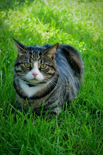 My favorite guy 😍 Cat Hello World Beauty In Nature Outdoors Summer Day My Cat My Little Shadow Little Shadow Fatcat  Seriousness  My Little Tiger Green Color Grass