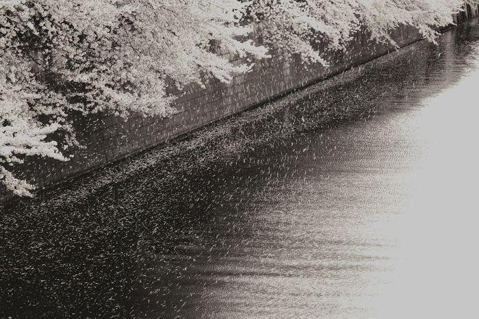 A Rain of Cherry Blossoms 桜吹雪 Petal Falling Windy Urban Nature Urban Landscape Monochrome EyeEm Bnw
