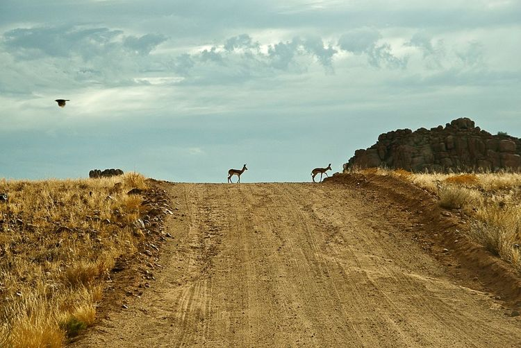 Springboks walking on dirt road against sky