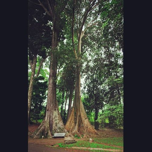 Salah Satu Pohon Besar | Kebun Raya Bogor Inub324 Instanusantara Instanusantarajakarta Instanusantarakuningan Instasunda Instagramhub