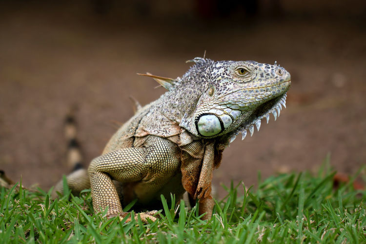 Close-up of iguana on grass