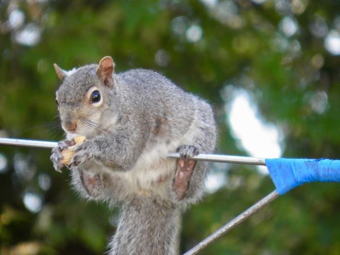 Squirrel on balance beam eating a peanut closeup focus on the foreground outdoors daytime EyeEm nature lover One Animal Rodent No People