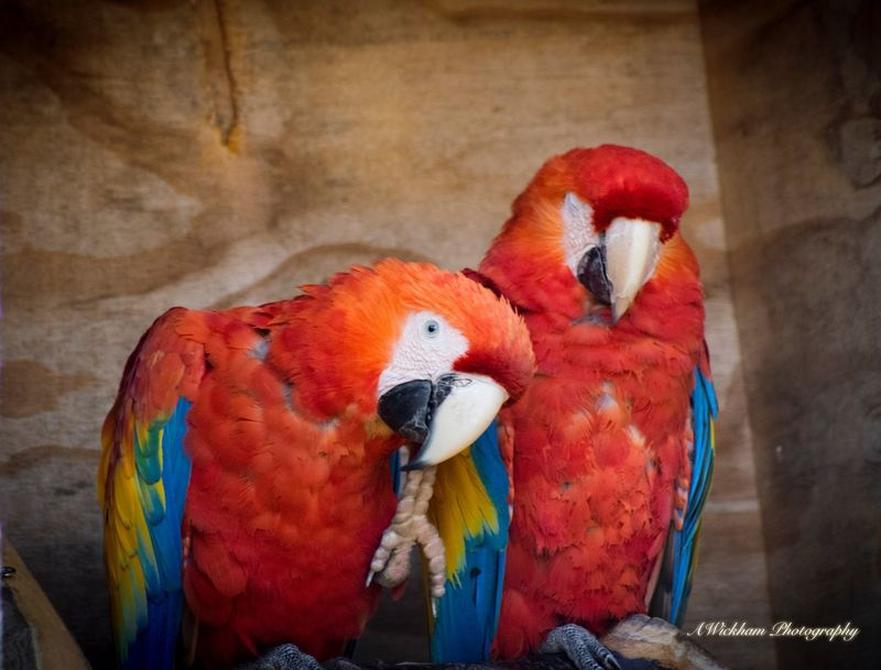 Just a couple of birds Bird Animals In The Wild Animal Themes Parrot Macaw No People Red Perching Animal Wildlife Nature Beauty In Nature Close-up Gold And Blue Macaw
