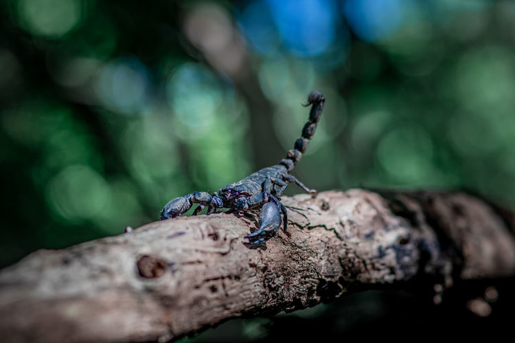 A big black scorpion in the forest