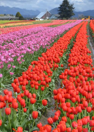 View of red tulips in field