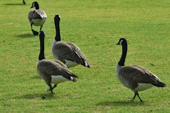 Walking Away Animal Themes Animal Wildlife Animals In The Wild Bird Canada Goose Day Field Geese Goose Gosling Grass Leisure Nature No People Outdoors Waddling Walking