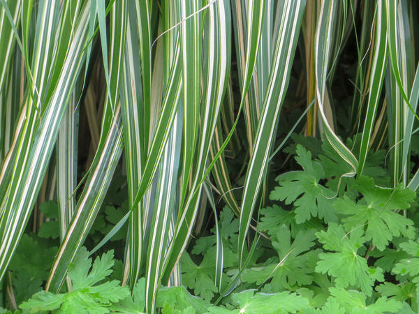 Grasses in a park Cool Green Horizontal Nature Plants Ribbon Shade South Waterfront Park Tranquility Carex Contrast Fresh Garden Grasses Leafy Lush Foliage No People Outdoors Pattern Peek-a-boo Peekaboo Shadow Striped Summer Texture