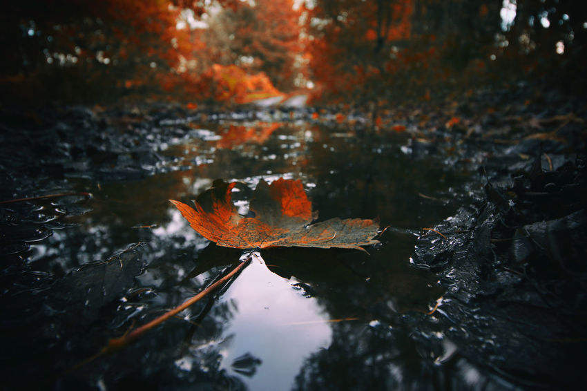Autumnal Autumn Colors Autumnal Autumnal Leaves Autumn Beauty In Nature Change Floating On Water Leaf Maple Leaf Nature Orange Color Outdoors Reflection Water