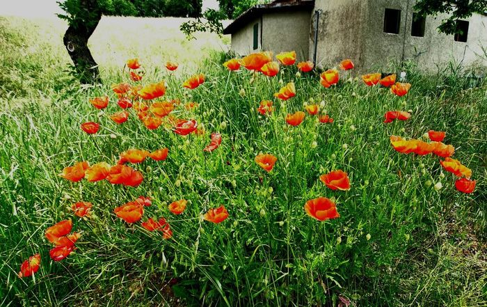 Beauty In Nature Flower Flowerbed Flowering Plant Nature No People Orange Color Outdoors Picture Poppy Red