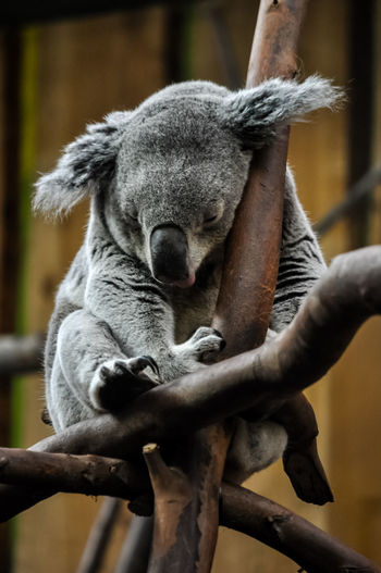 Close-up of koala sleeping on tree in zoo