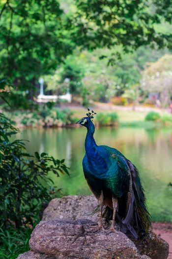 Peacock perching on rock