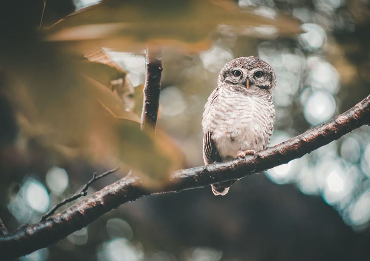 owl on tree branch Tree Tree Branches Tree Trunk Wildlife & Nature Animal Animal Themes Animal Wildlife Animals In The Wild Bird Birds Branch Day Focus On Foreground Nature No People One Animal Outdoors Owl Owl Eyes Owls Perching Plant Tree Vertebrate Wildlife