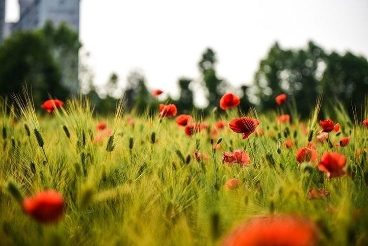 Flower Nature Nikon D750 Nikonphotography Opium Poppies Spring Spring Flowers Tamron 70-200mm F2.8