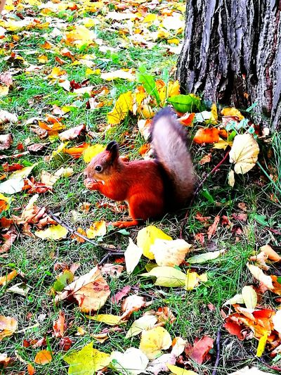 Russia, St.Petersburg Autumn🍁🍁🍁 Squarrel One Animal Peterhof Leaves Beauty In Nature