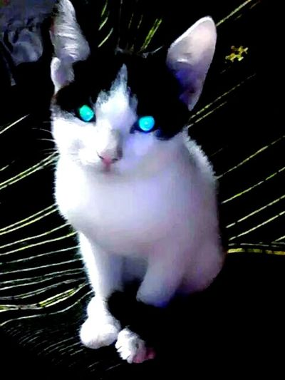 Beautiful Blue Eyes Cat. Beautiful Animal Portrait. Eyeem Nature Lover. Open Edit. Taking Photos.