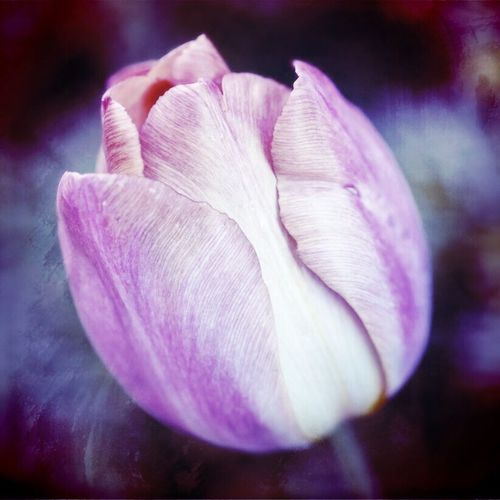 Abstract tulip Petal Flower Close-up Flower Head Nature No People Growth Freshness Focus On Foreground Beauty In Nature Fragility Plant Blooming Outdoors Day