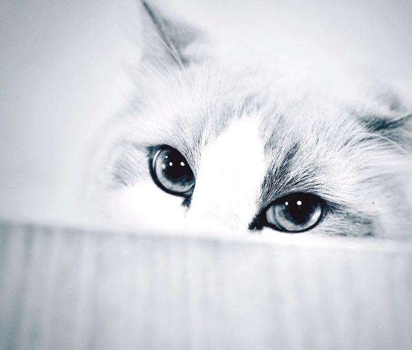 Cat's Eyes Monochrome _ Collection Monochrome Cat Hiding Cat Cat Chat Katze ねこ Grainy Highcontrast Pet Photography  B&w