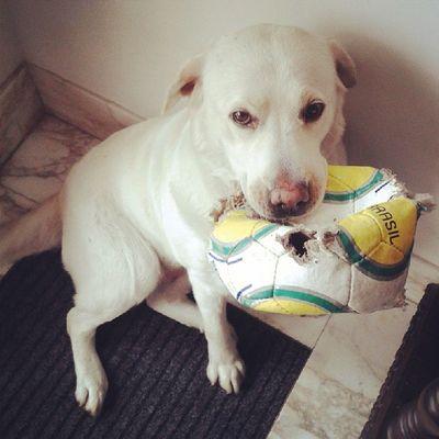 Cute Pets Labrador Retriever Occhibelli