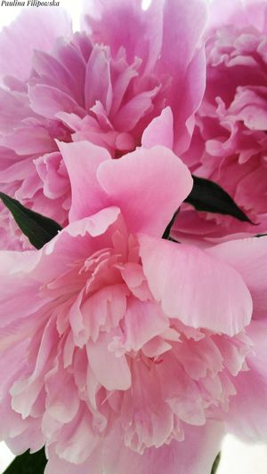 Flower Pink Color Nature Beauty In Nature Flower Head Fragility Plant Botany Blossom Peony  Close-up Full Frame Growth Freshness Day Outdoors Petal No People White Background White Line Pink Artwork