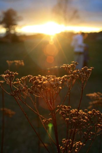 Sun shining over cow parsnip on field