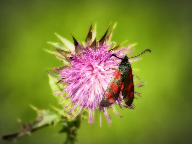 Insekt auf einer Distelblüte