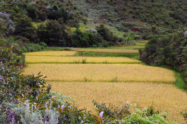 Rice fields in the Malagasy valleys Africa Agriculture Deforestation Field Folliage Hi Madagascar  Madagascar Nature Rice Field Valley