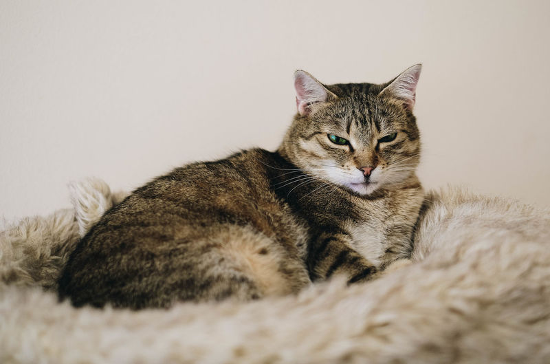 Cat Domestic Feline Pets Domestic Animals Domestic Cat Mammal Vertebrate Relaxation Indoors  One Animal No People Portrait Resting Whisker Tabby