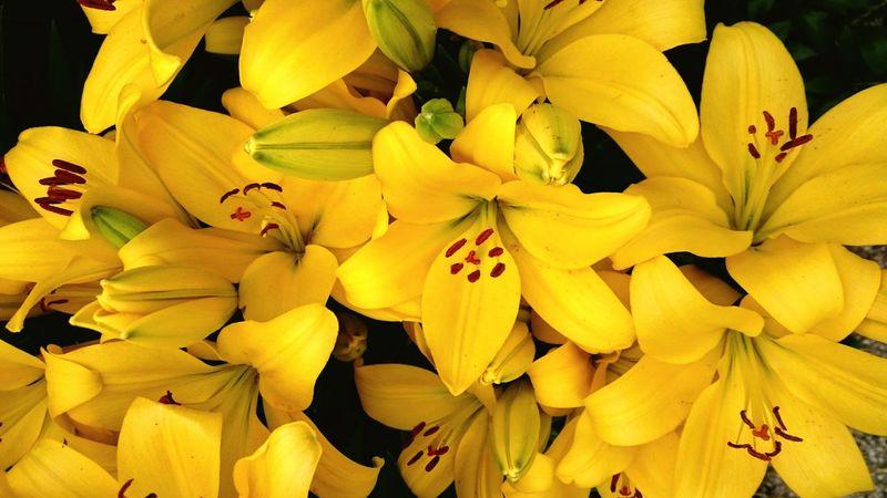 Meine gelben TigerLilien BlütenzauberLillie Power EyeEm Gallery Floweroftheday Eyeemphotography Flowermagic🌱 Flower Photography Flowers,Plants & Garden Flower Collection Yellow Flower Yellowflower Yellowmagic Yellow Lillies