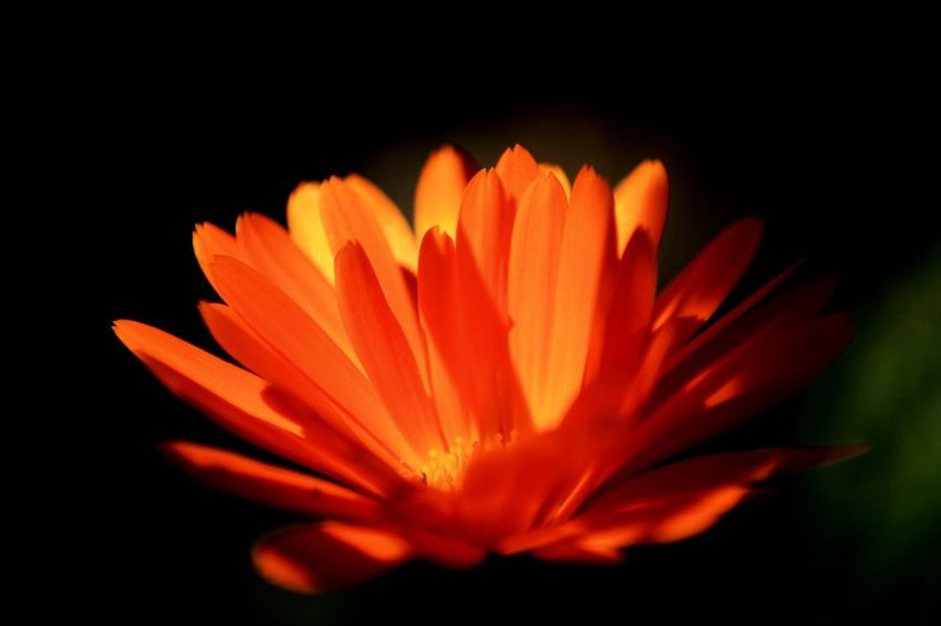 Flowers In My Garden Flowerporn Nature Photography Calendula Orange Color Flower Head Flower Head Black Background Flower Beauty Petal Exoticism Close-up Plant In Bloom Botany Flowering Plant Focus Blooming