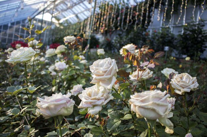 Christmas Evening Light Golden Lights LongwoodGardens Close-up Evening Flower Freshness Golden Hour Greenhouse Petal Plant Rose - Flower Shades Of Winter