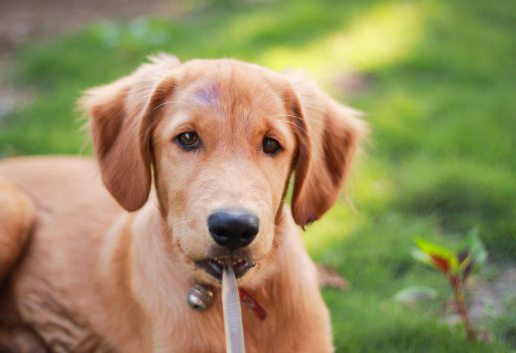 Close-Up Portrait Of Golden Retriever Puppy Holding Toothbrush In Mouth
