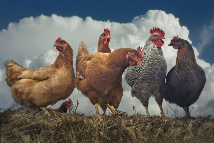 Agriculture Animal Themes Bird Chicken - Bird Close-up Cloud - Sky Cockerel Day Domestic Animals Field Hen Livestock Nature No People Outdoors Rooster Rural Scene Sky