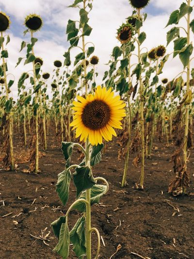Sunflower Summer Queensland Drought Australia Plant Growth Flower Beauty In Nature Flowering Plant Yellow Nature Sky Day No People Inflorescence Land Fragility Flower Head Freshness Sunflower Close-up Field Vulnerability  Tree