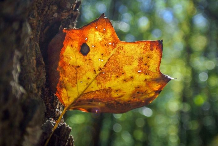 Leaf with the sun glowing through it Animal Themes Close-up One Animal Animal Animals In The Wild Animal Wildlife Nature Focus On Foreground Plant Part No People Invertebrate Beauty In Nature Leaf Insect Yellow Day Orange Color Outdoors Plant Vertebrate