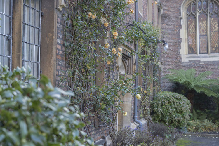 Plant Architecture Building Exterior Nature Growth Building No People Outdoors Day House Plant Part Leaf Window City Wall Old Building  England Cambridge Ivy Built Structure Tree Garden Greenery Brick Wall Brick Building