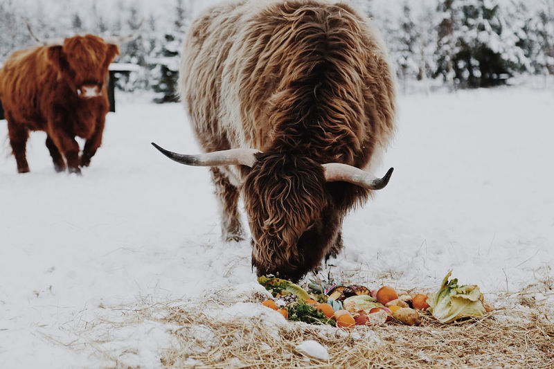 Cows in a snow